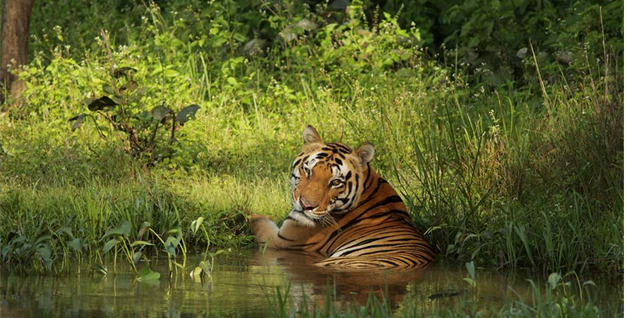 THIS SUMMER TAJ INVITES YOU ON A TRAIL OF THE MYSTERIOUS BENGAL TIGER