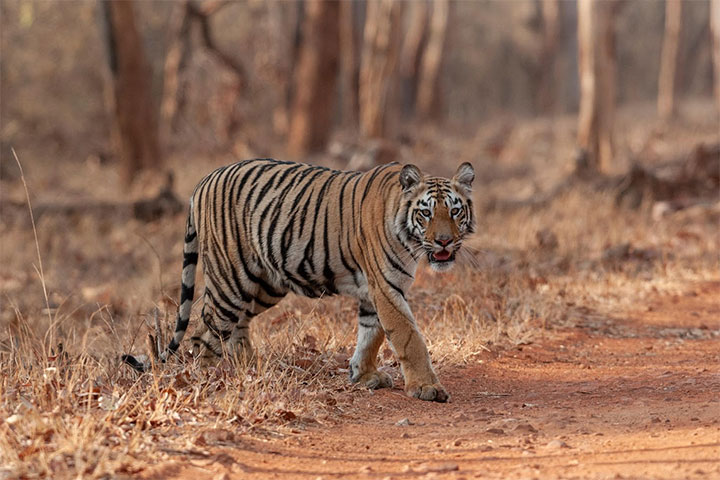 Indian Hotels Company (IHCL) Announces A Seleqtions Hotel In Tadoba Andhari Tiger Reserve, Maharashtra